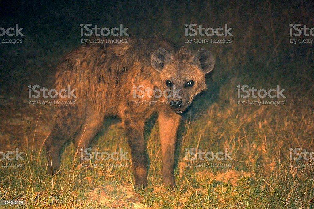 Spotted hyena by night, Maasai Mara Game Reserve, Kenya stock photo