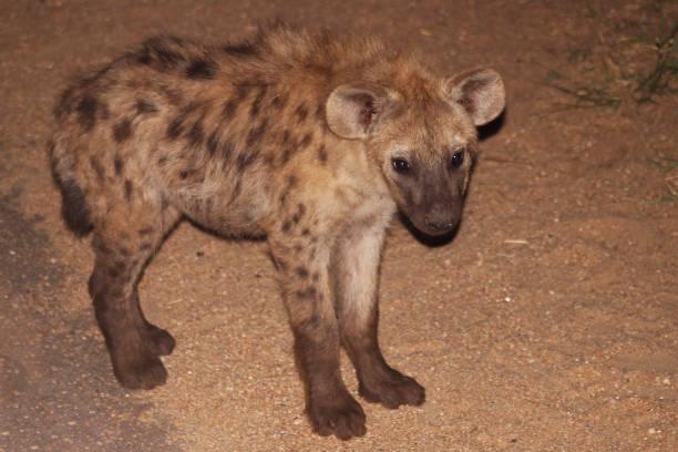 Spotted Hyena cub, Crocuta crocuta, Kruger National Park, South Africa stock photo
