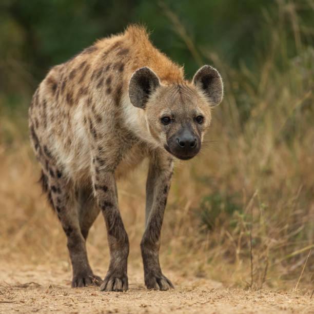 gevlekte hyena tijdens een middag game drive in kruger national park - hyena stockfoto's en -beelden