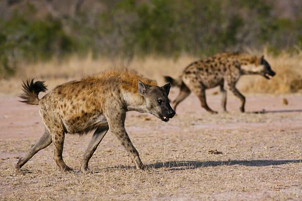 spotted hyena hunting, kruger national park pair walking blurr pack - hyena stockfoto's en -beelden