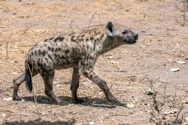 Spotted Hyena in nature,close up. West Africa stock photo
