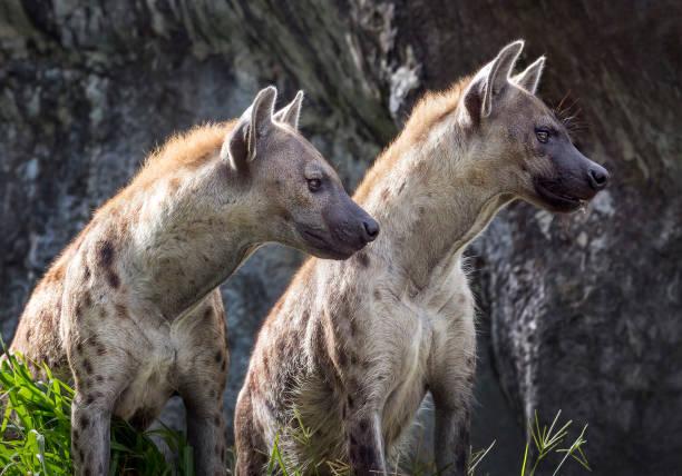gevlekte hyena in de natuurlijke omgeving. - hyena stockfoto's en -beelden