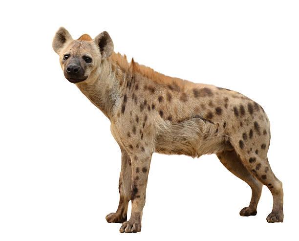 spotted hyena isolated - hyena stockfoto's en -beelden