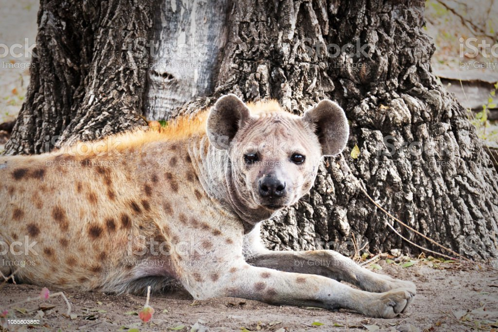 Hyène tachetée, couché près de l'arbre, Tanzanie - Photo