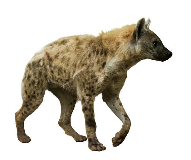 spotted hyena on white - hyena stockfoto's en -beelden