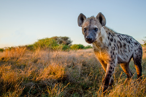 A closeup of a Spotted Hyena. Moremi Game Reserve, Botswana.
