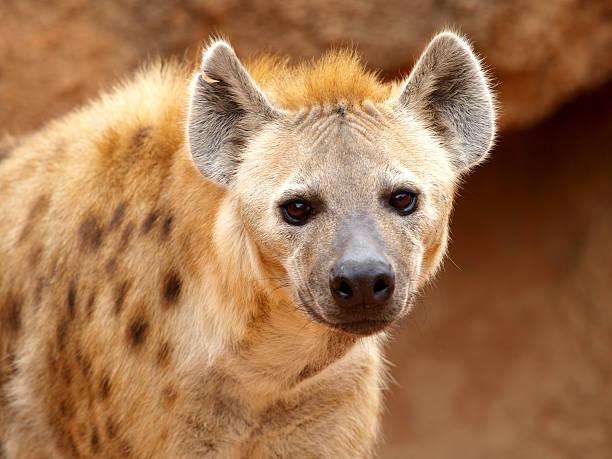 spotted hyena - hyena stockfoto's en -beelden