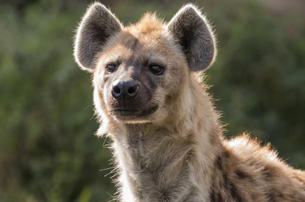 gevlekte hyena - hyena stockfoto's en -beelden