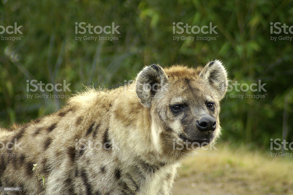 Spotted Hyena royalty-free stock photo