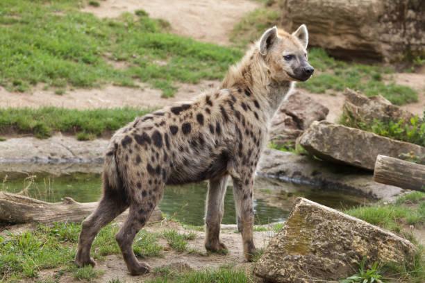 gevlekte hyena (crocuta crocuta) - hyena stockfoto's en -beelden
