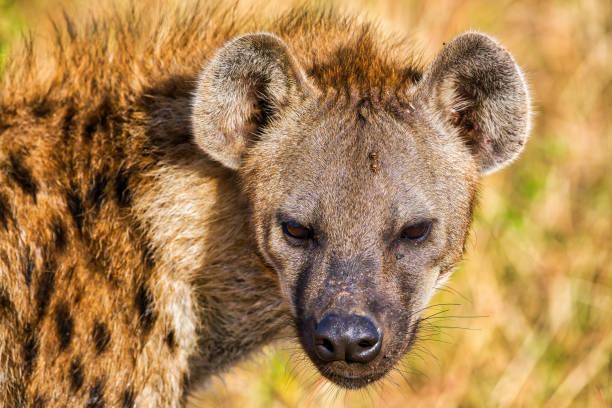 gevlekte hyena portret op sluiten wild - kijkend naar de camera - zeer - hyena stockfoto's en -beelden