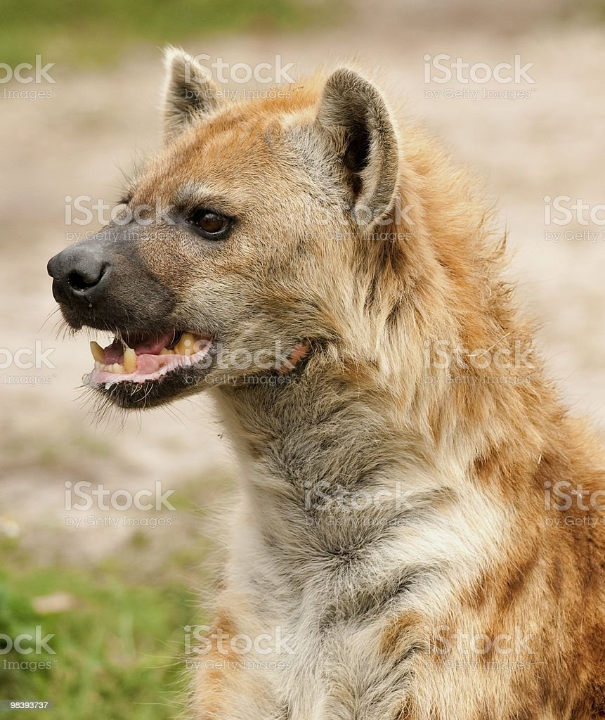 Spotted Hyena Profile royalty-free stock photo