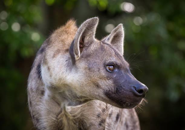 gevlekte hyena rusten in het bos. - hyena stockfoto's en -beelden