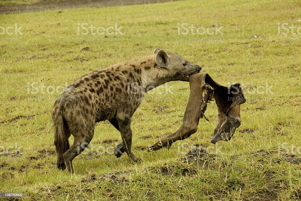 Spotted Hyena Running With Carcass In Mouth Stock Photo & More ...