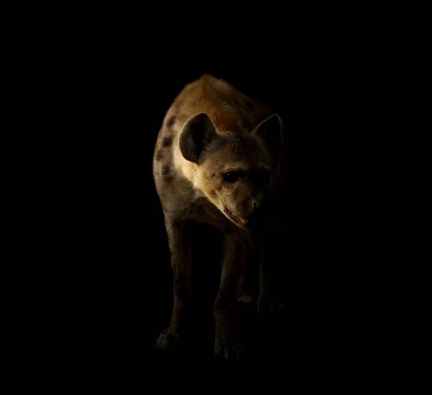 gevlekte hyena staande in de donkere achtergrond - hyena stockfoto's en -beelden
