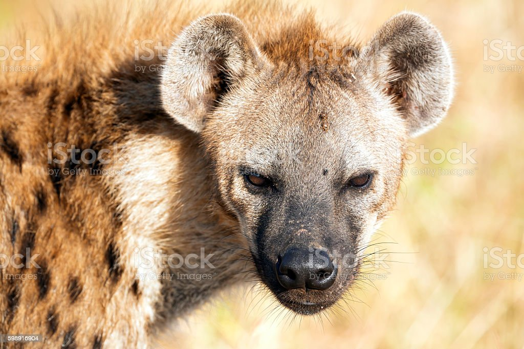 Spotted Hyena With Ticks Stock Photo & More Pictures of Africa | iStock