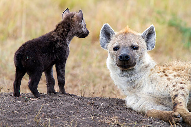 Spotted hyenas, Masai Mara, Kenya stock photo