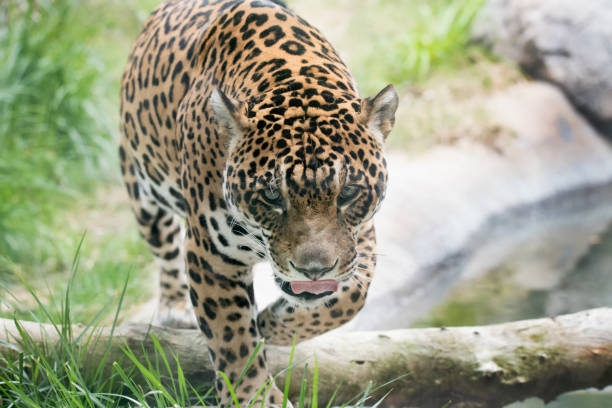 spotted jaguar walking toward the viewer - carnivora stock photos and pictures