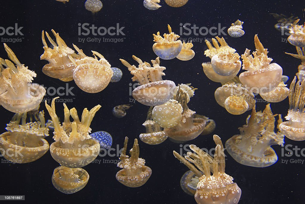 Spotted Jelly royalty-free stock photo