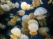 Lots of spotted jellyfish freely floating.