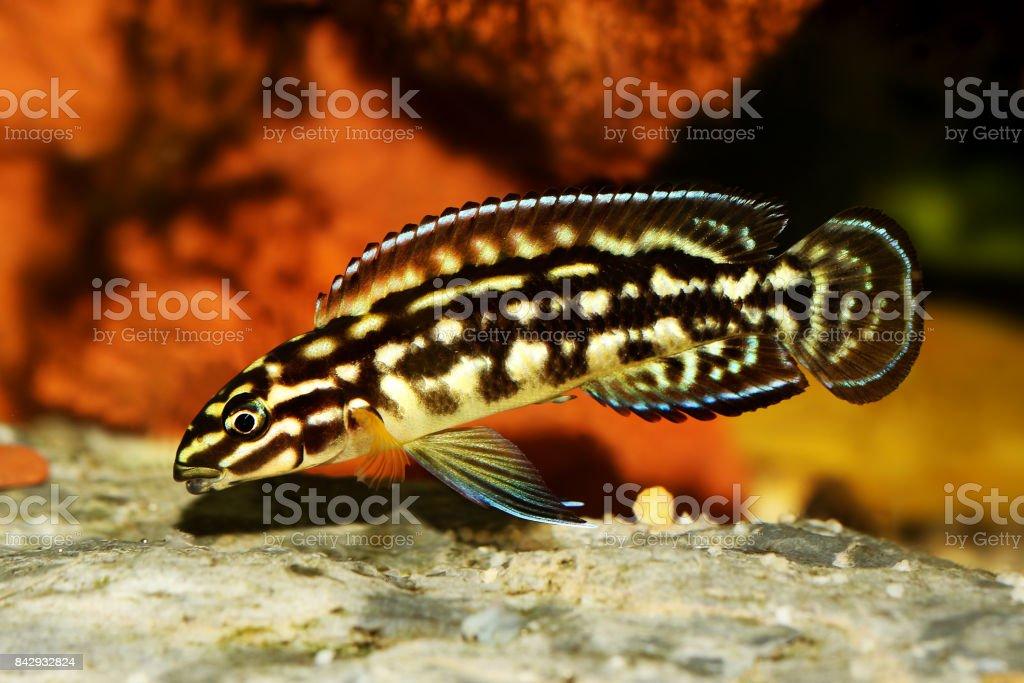 Spotted Julie Cichlid Julidochromis marlieri aquarium fish Lake Tanganyika stock photo