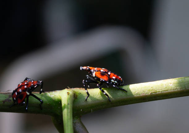 spotted lantern fly nymph on grapevine, berks county, pennsylvania - spotted stock photos and pictures