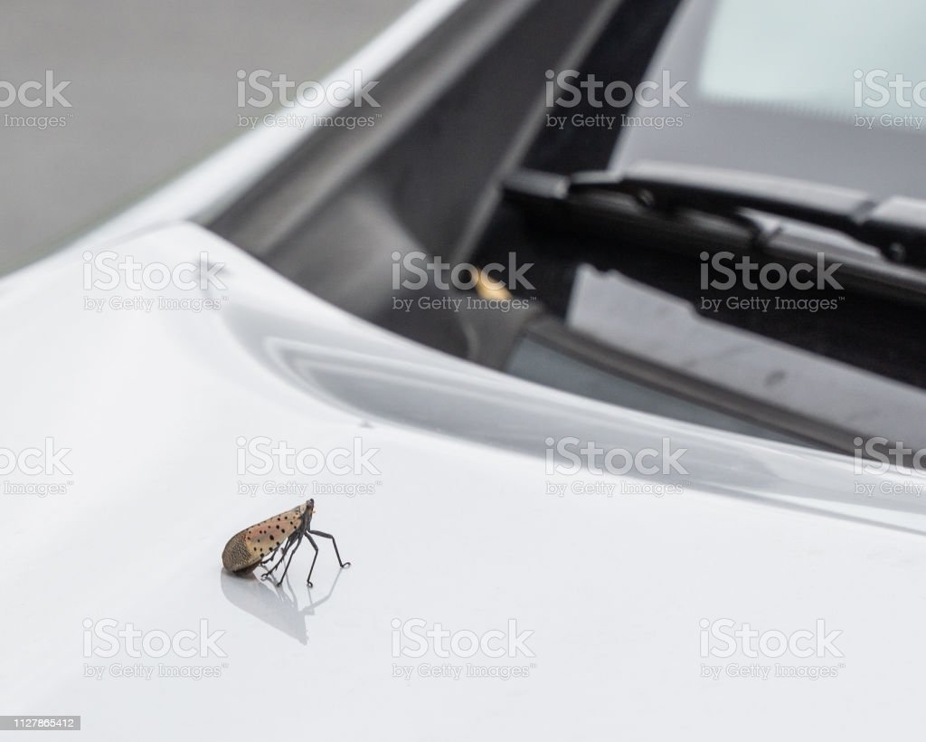Spotted lanternfly sits on hood of car, Berks County, Pennsylvania.