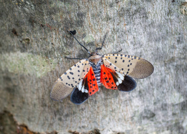 Spotted lanternfly on maple tree stock photo