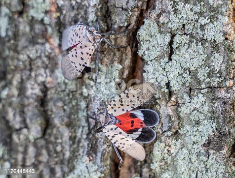 Close-up of spotted lanternfly as it spreads its wings.