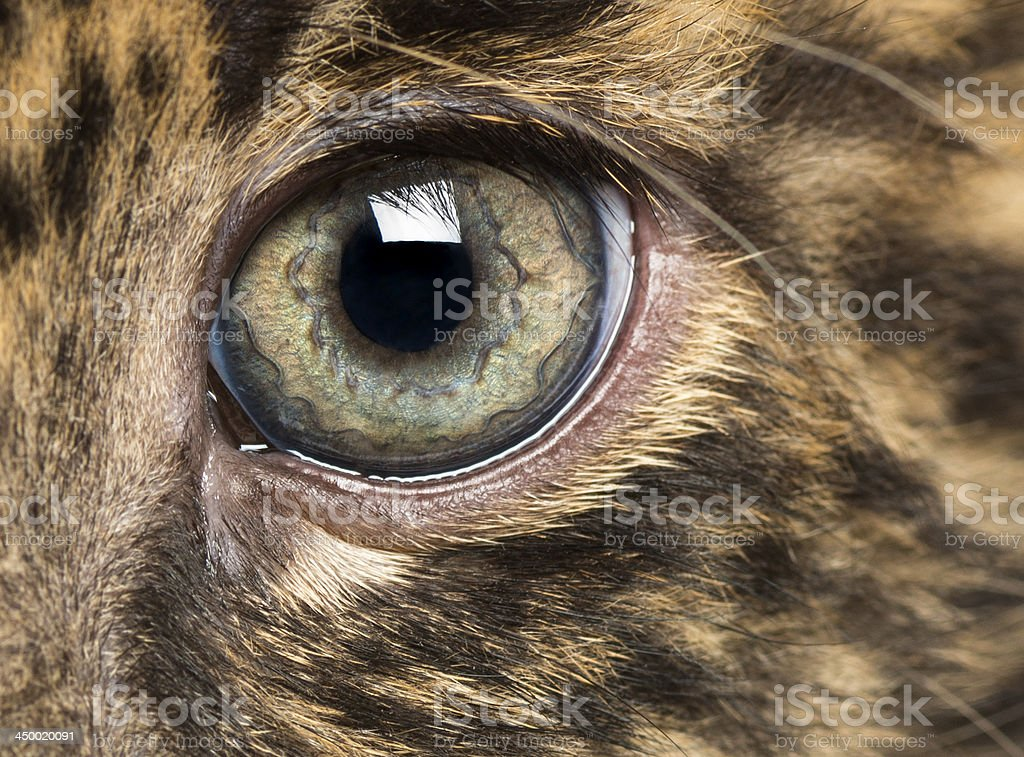 Spotted Leopard cub eye - Panthera pardus royalty-free stock photo