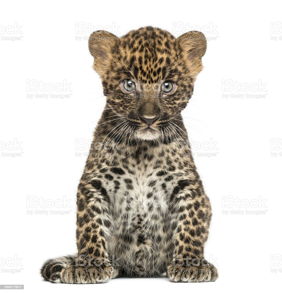 Spotted Leopard cub sitting - Panthera pardus, 7 weeks old stock photo