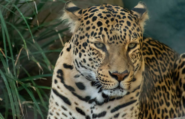 spotted leopard stock photo