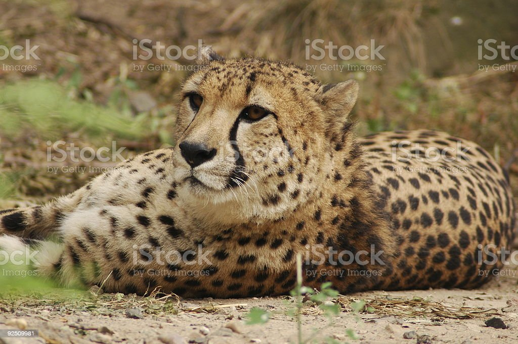 spotted leopard royalty-free stock photo