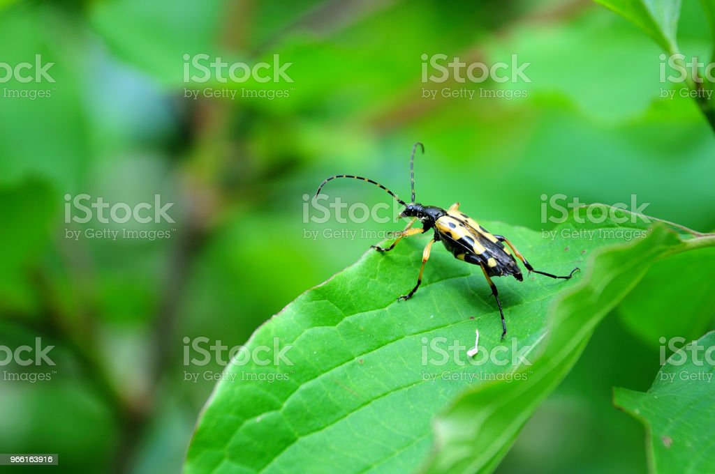 spotted longhorn on green leaf - Royalty-free Animal Stock Photo