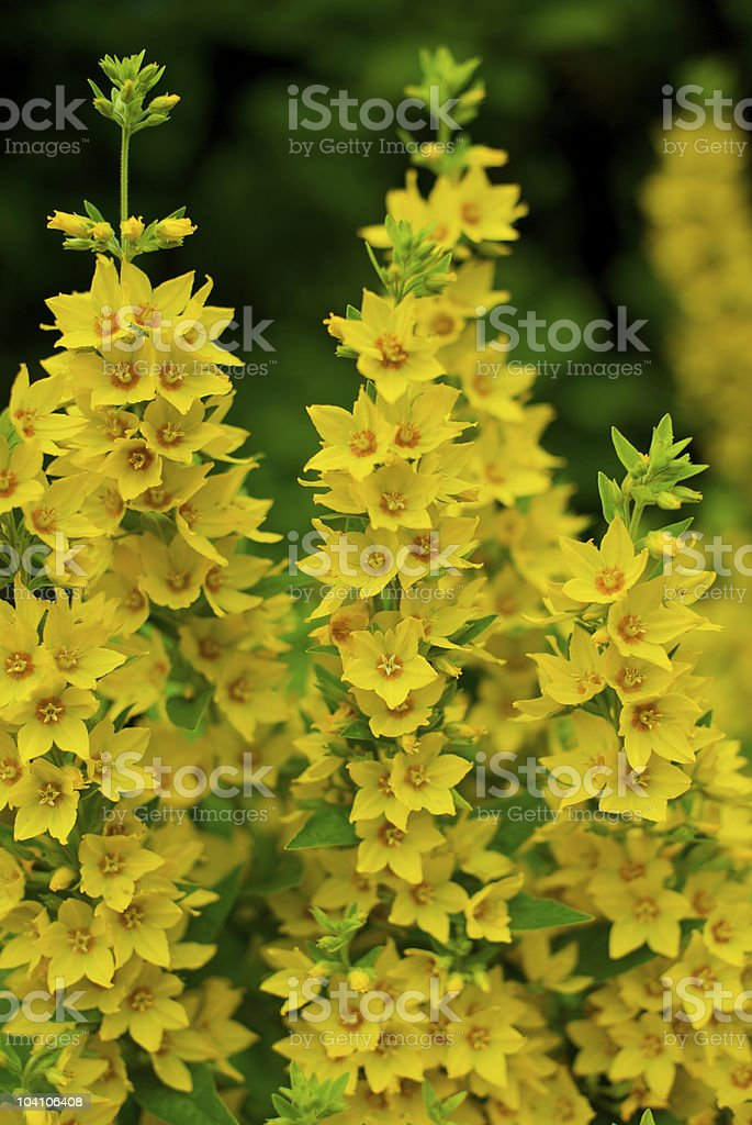Spotted loosestrife with towering, yellow flower spikes royalty-free stock photo