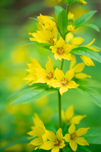 Spotted loosestrife with towering yellow flower spikes stock photo