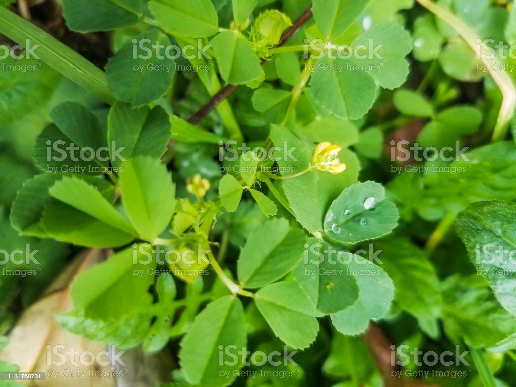 Medick manchado, burclover o planta del trébol del corazón - foto de stock