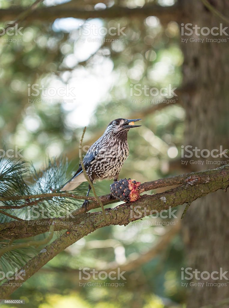 Spotted Nutcracker Eating Pinus Cembra Cone stock photo