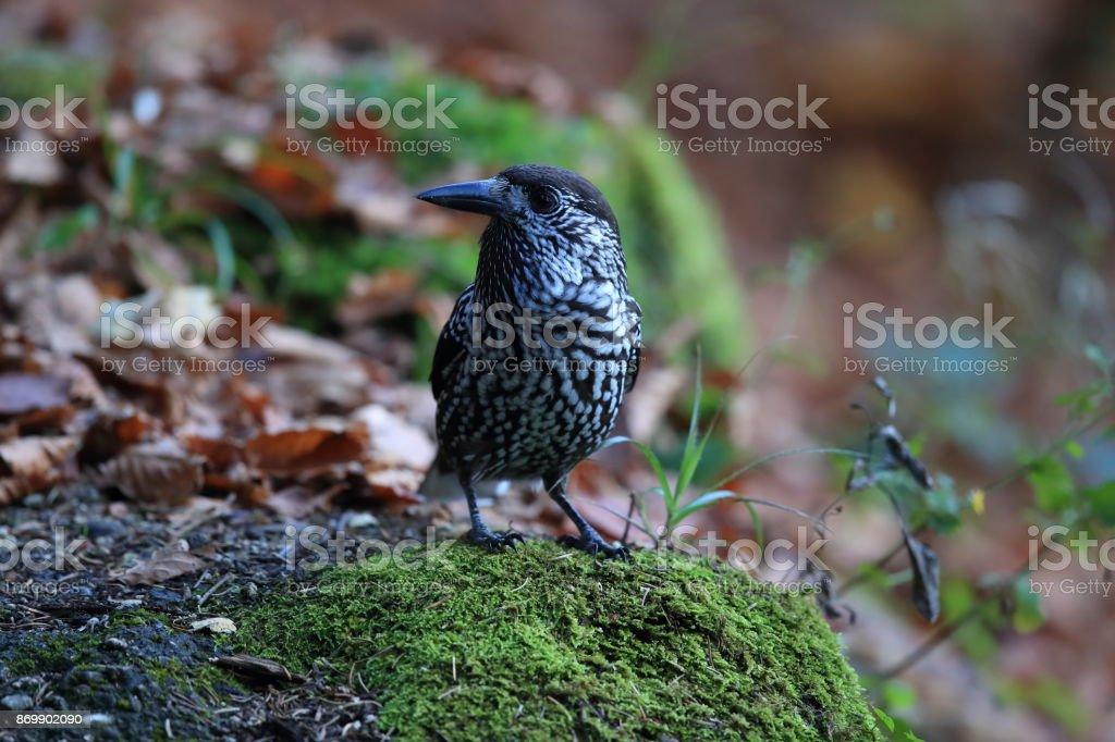 Spotted Nutcracker, Eurasian nutcracker Black Forest Germany stock photo