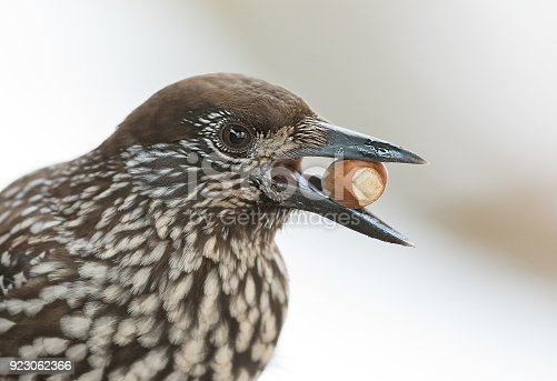 Spotted nutcracker (nucifraga caryocatactes) with hazel nut.