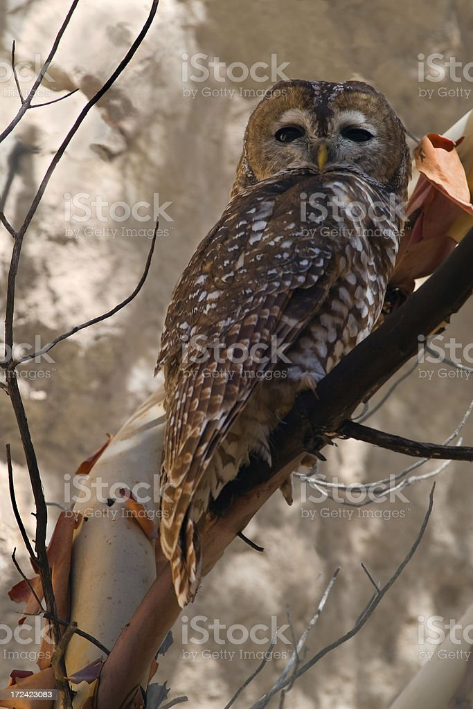 Spotted Owl Watching Photographer royalty-free stock photo