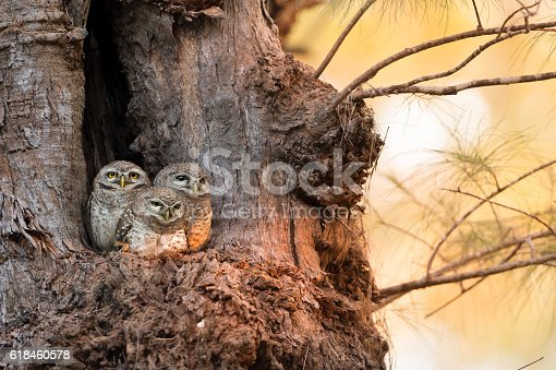 istock Spotted owlet family (Athene brama) at nest 618460578
