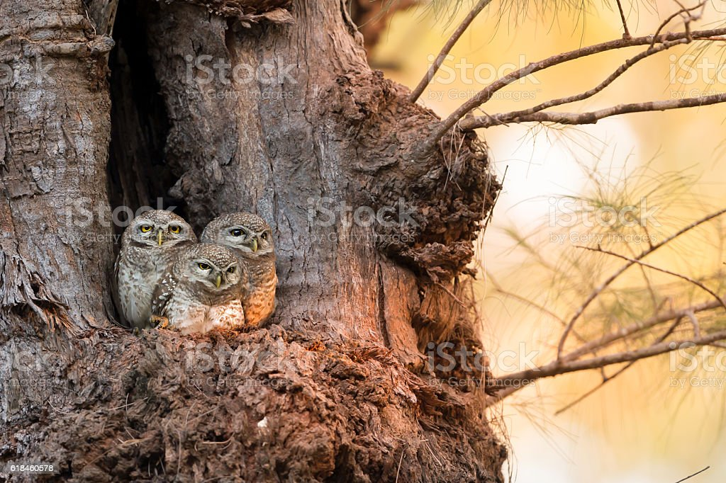 Spotted owlet family (Athene brama) at nest stock photo