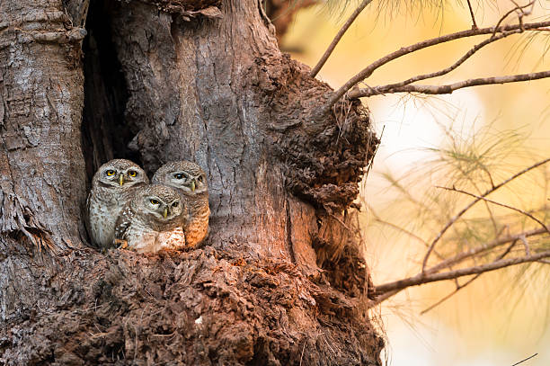 spotted owlet family (athene brama) at nest - owl stock photos and pictures