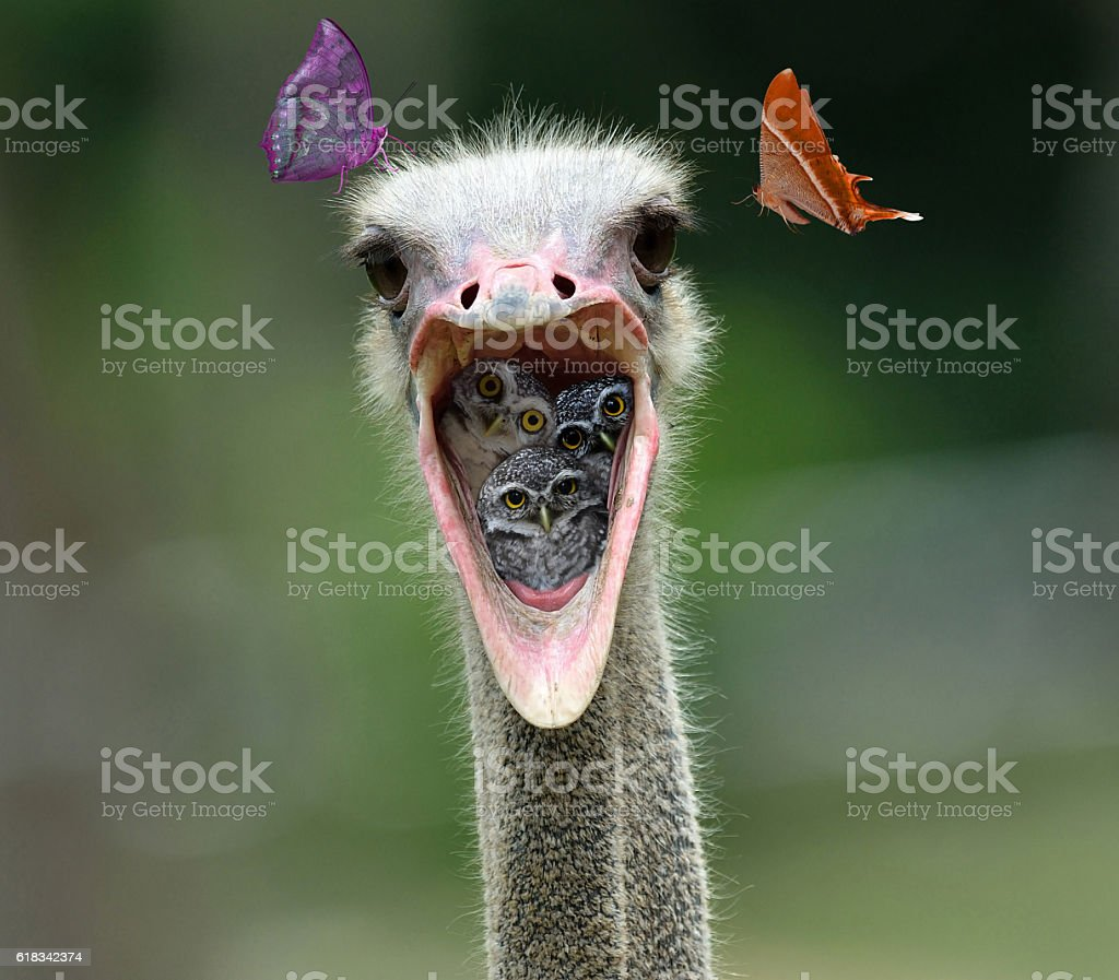 Spotted owlet in Ostrich mouth stock photo