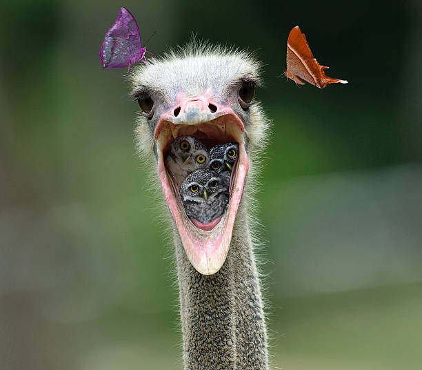 Spotted owlet in Ostrich mouth - foto de stock