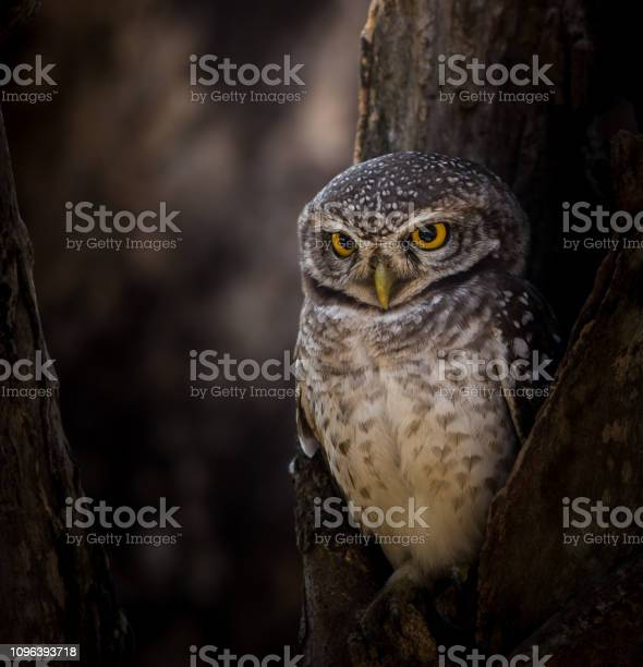 Spotted owlet on the branches of trees in park picture id1096393718?b=1&k=6&m=1096393718&s=612x612&h=lugaman6y2kam0jaz7kyfoidfueqpizd2batcz9kpze=