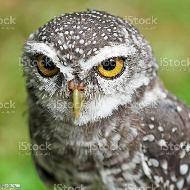 Spotted owlet or athene brama bird picture id479470756?b=1&k=6&m=479470756&s=612x612&h=pqrab9e7tp0wvltlcdw4ajikkdjvw  ify8j b0096a=