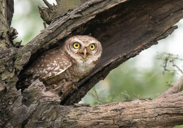 Spotted owlet picture id1008863524?b=1&k=6&m=1008863524&s=612x612&w=0&h=wfm1itlqflbfsdqek4ef6eeordpyjaktdkgypqxvqbw=