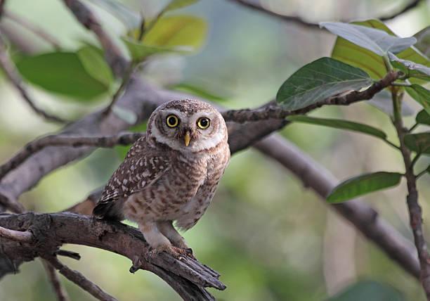 Spotted owlet picture id156363033?b=1&k=6&m=156363033&s=612x612&w=0&h=onlicwvxfwsxmy3nxqr23o7pxb6ube8u0ygr chgmfa=